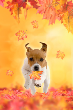Jack Russel Terrier puppy playing in autumn with leaves Zdjęcie Seryjne - 44161749