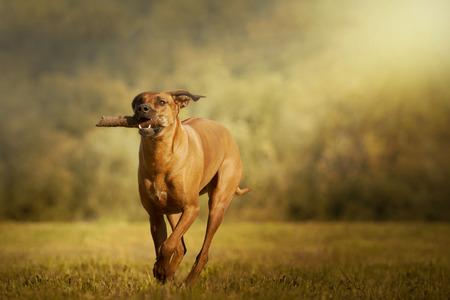 Rhodesian Ridgeback dog retrieves