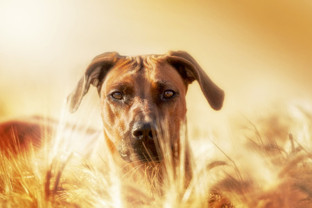 Rhodesian Ridgeback dog looking out the cornfield Zdjęcie Seryjne - 44161862