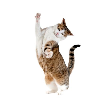 Kat die zich op achterste benen op een witte achtergrond