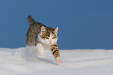 Cat jumping over snow field with blue sky