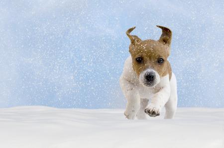 Hond, puppy, Jack Russel Terrier spelen in de sneeuw met blauwe hemel