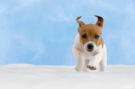 Kutya, kölyök, jack russel terrier játszik a hóban, kék ég
