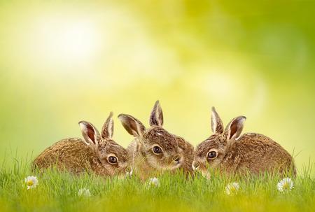 Három húsvéti nyuszi ül a zöld rét háttérvilágítású Stock fotó