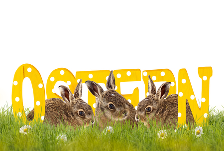 three Easter bunnies sitting in meadow with wooden letters (Ostern), isolated on white background Stock Photo