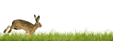 Easter bunny rabbit running across meadow