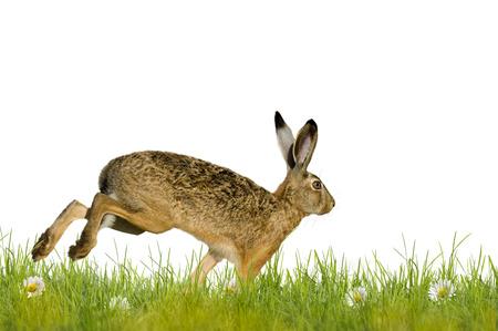 Húsvéti nyúl fut át réti