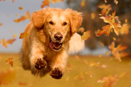 calendario octubre: Perro, golden retriever saltando a través de las hojas de otoño en la luz del sol otoñal
