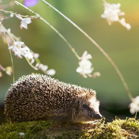 Hedgehog ül moha virággal őszi napfényben