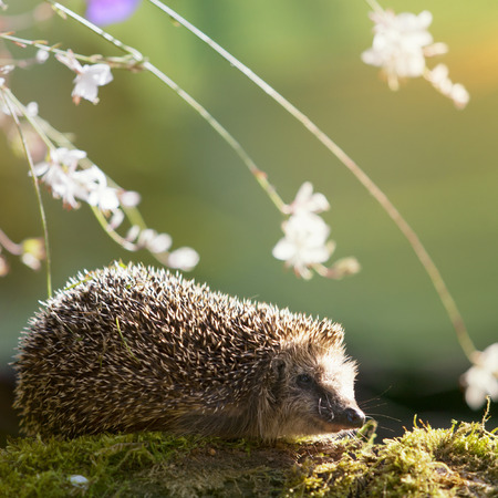 Hedgehog sitting on moss with flowers in autumnal sunlight