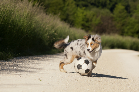 Dog; Australian Shepherd playing with football in nature