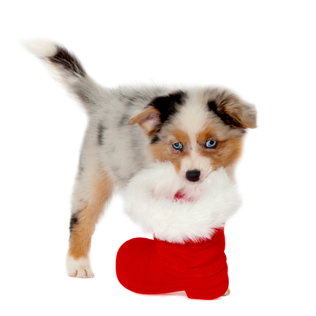 Australian Shepherd puppy wearing Christmas boots isolated on white background Imagens