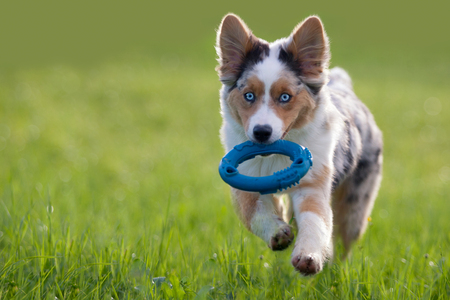 Australian Shepherd Retrieving dog toy