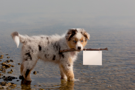Dog; Australian Shepherd puppy while bathing on holiday carries banner