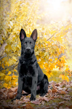 black German shepherd dog sits in front of a tree with colorful autumn leaves and looks into the camera. Zdjęcie Seryjne