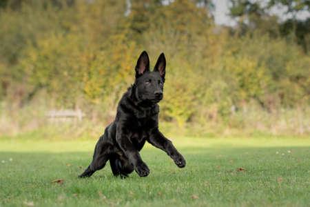 Dog, black German shepherd dog is running, jumps over a meadow Zdjęcie Seryjne