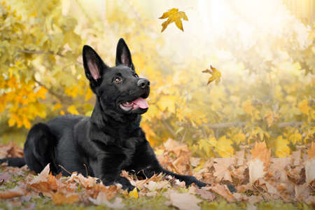 Dog, German shepherd, black lies in colorful autumn leaves and observes falling leaves. Archivio Fotografico