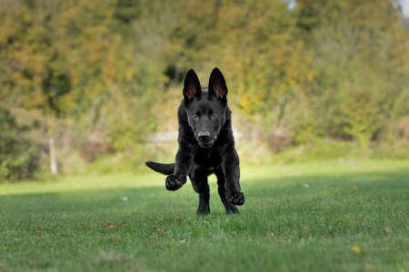 Dog, black German shepherd dog is running, jumps over a meadow Archivio Fotografico