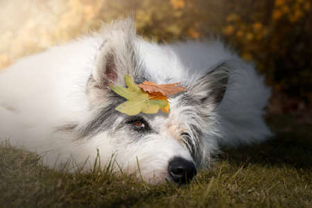 white fuzzy, shaggy dog lies relaxed in autumn in the sun with leaves on his head and chills.