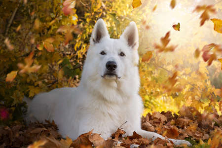 White Swiss Shepherd Dog; lies in autumn in front of a bush, tree with falling leaves, autumn leaves