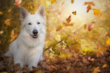 White Swiss shepherd dog lies in autumn in front of a bush with autumn leaves and falling foliage and smiles into the camera