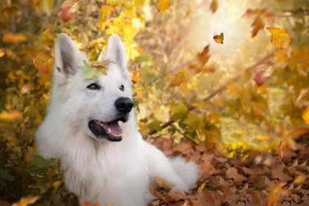 White Swiss Shepherd; lies under a tree with leaves and leaves on its head in autumn. Archivio Fotografico