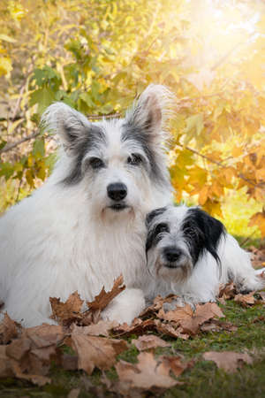 two fuzzy, shaggy dogs lie next to each other in the autumn leaves and enjoy the warm sun. Symolize faithful, solidarity and love.