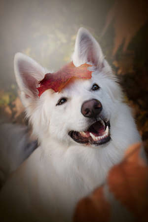 Portrait of a white shepherd dog in autumn. The white Swiss shepherd dog smiles at the camera with a leaf on his head. Archivio Fotografico