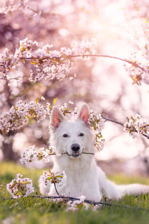 white shepherd dog lying under cherry blossoms in spring with sunshine with a blossoming cherry branch in his mouth Stock fotó