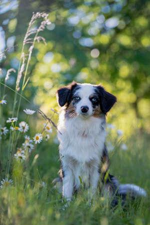 Dog Australian Shepherd sitting in front of a flowering bush in spring sunshine Stock fotó