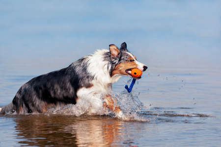 Dog, Australian Shepherd retrieving ball from water at a lake or sea in sunshine and blue sky Stock fotó