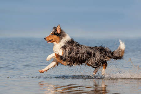 Dog, Australian Shepherd, running over the water on a summer day with sunshine at the sea or lake