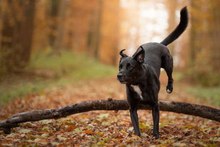 Dog, Labrador mix running, jumping on a forest path in autumn atmospheric autumn light