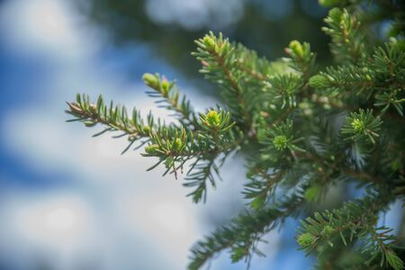 Fir tree brunch close up. Shallow focus. Fluffy fir tree brunch close up. Christmas wallpaper concept. Copy space. Tender green spruce needles on a background of blue sky. Spring sprouts.