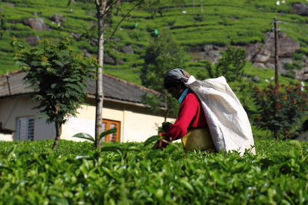 picking: Haputale Sri Lanka tea picking Editorial