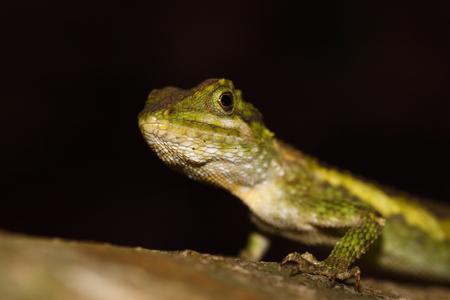 reptile: Small lizard reptile in the wood