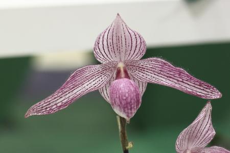 paphiopedilum: Paphiopedilum orchid Stock Photo