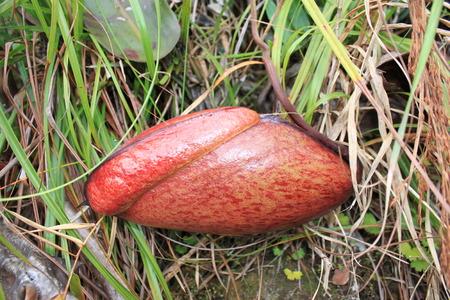 rajah: jungle pitcher plant Nepenthes Rajah