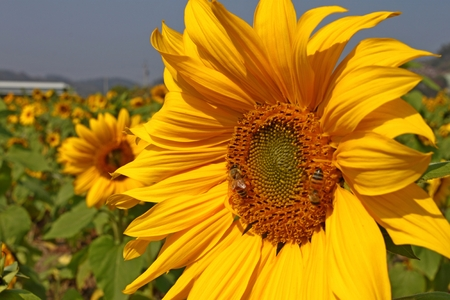sunshine insect: Bee and sunflower