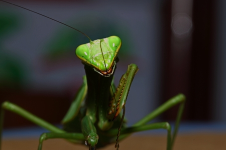 mantodea: Green Mantis Mantodea is kind of strong insect Stock Photo
