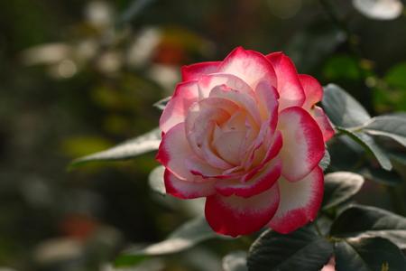 rose garden: Rose: Jubile du prince de Monaco