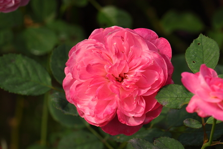 beautiful rose: Beautiful Rose flower in the garden