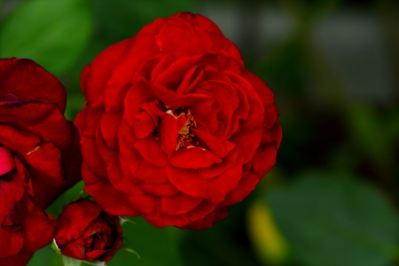 Beautiful Rose flower in the garden, Archivio Fotografico
