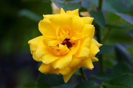 Beautiful Rose flower in the garden
