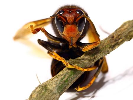 Vista cercana del avispón asiático (avispón de patas amarillas)