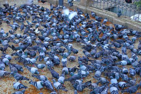 Flock of urban pigeon birds eating on street of India. 免版税图像