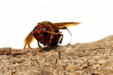 Close-up view of head of hornet Vespa crabro velutina macro