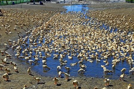 Flock of white duck in a duck farm. Domestic ducks walk around the farm