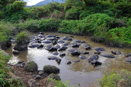 Water buffalo at Qingtiangang Grassland, Yangmingshan, Taiwan 免版税图像