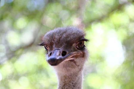 Portrait of an ostrich in a farm, Ostrich face close up